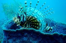 Lionfish in Barrel Sponge