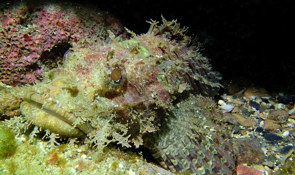 scorpionfish closeup.JPG
