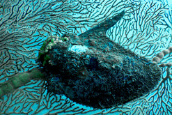 Sea Fan and Mussel
