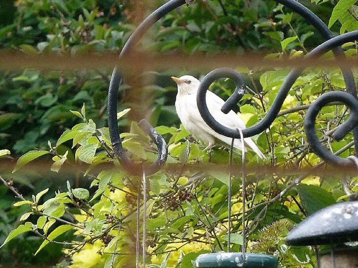 Rare white starling in back garden