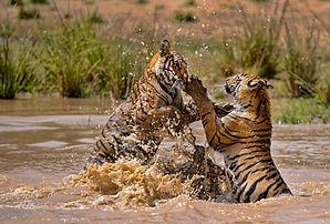 Tigers_fighting.jpg