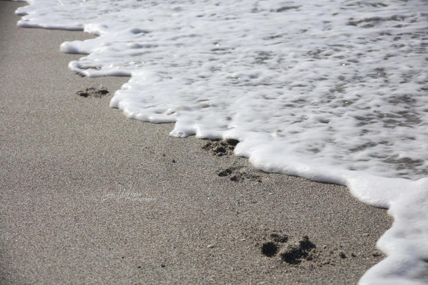 Paw Prints in the Sand.JPG