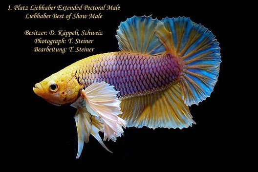 Yellow Pineapple Dumbo HMPK Betta Best of Show Collector Classes Extended Pectoral Plakat