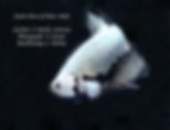 Black Dragon Shw Plakat Male Betta Fish