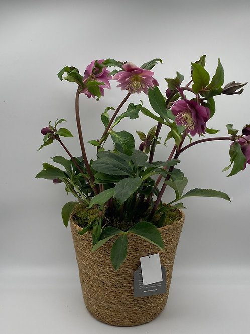 Hellebore in Seagrass