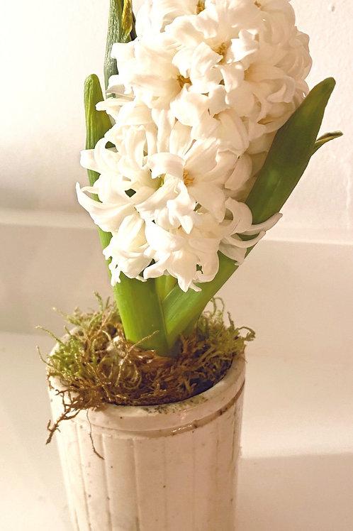 Hyacinth in vintage jar