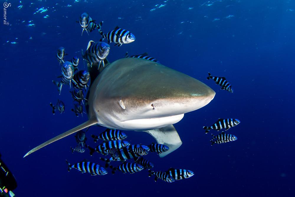 כריש לונגינמוס במרחק של סנטימטרים בודדים. צילום: בועז סמוראי