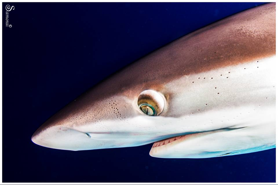 כריש משי