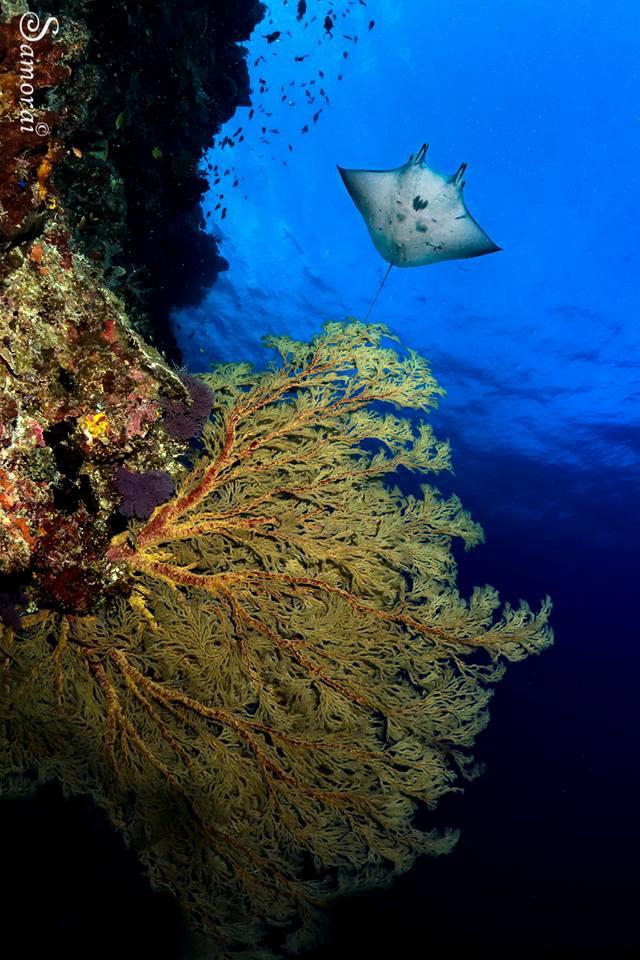 מנטה שוחה לצד קיר אלמוגים