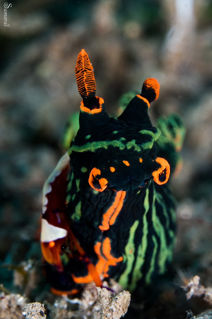 מגוון החשופיות הגדול ביותר שראיתי עד היום. בתמונה זו חשופית וועליה סרימפ מלכותי. צילום: בועז סמוראי