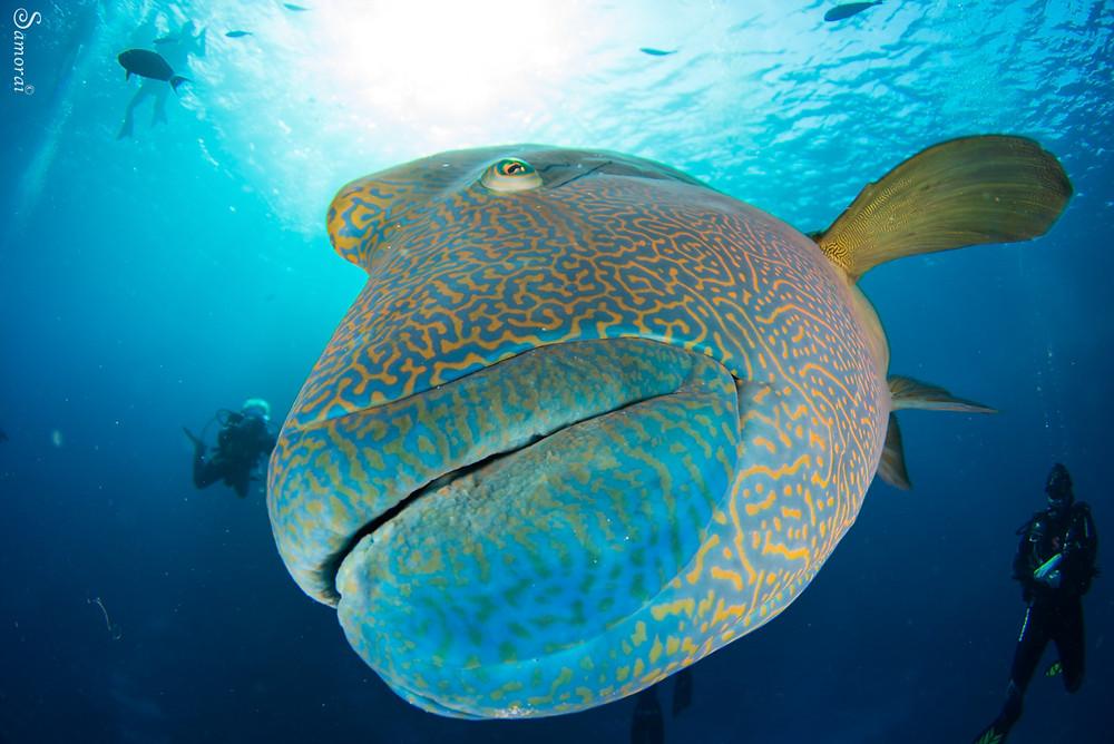 דג הנפולאון הענק והידידותי. צילום: בועז סמוראי