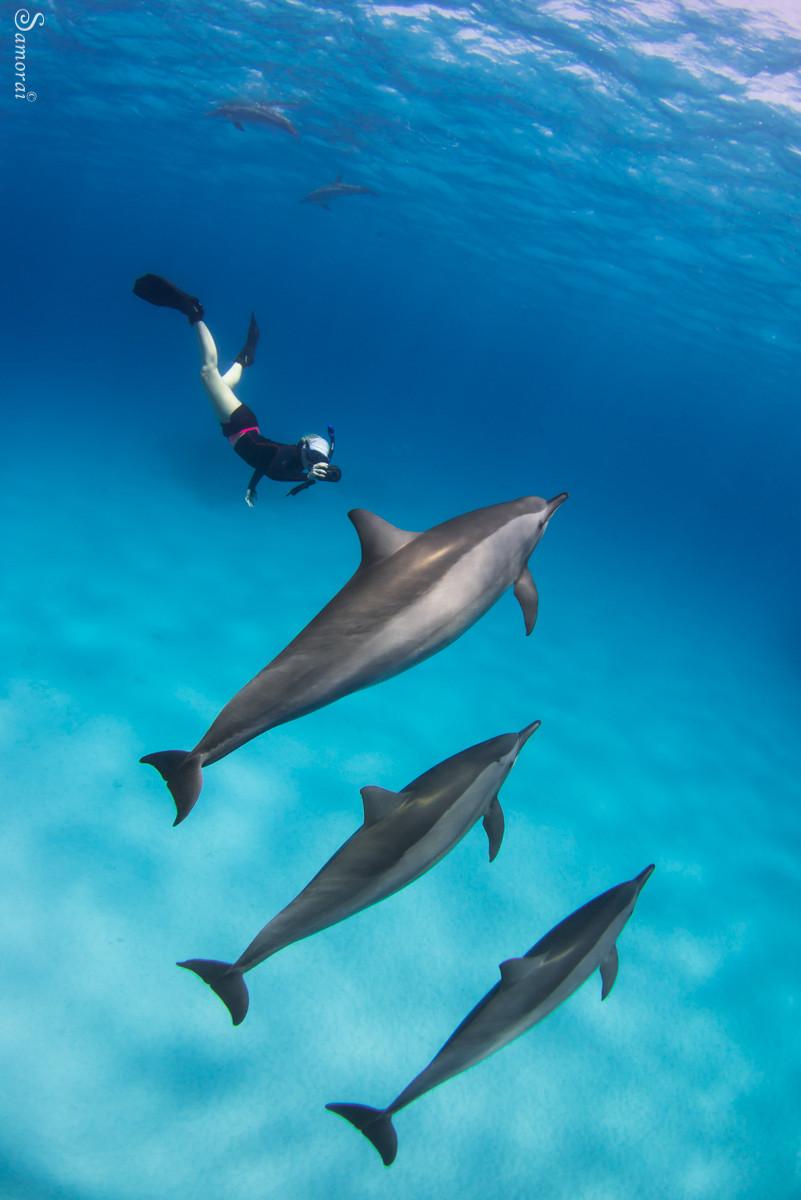 להקת דולפיני ספינר. צילום: בועז סמוראי