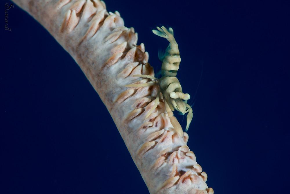 שרימפ על אלמוג סימרית. צילום: בועז סמוראי
