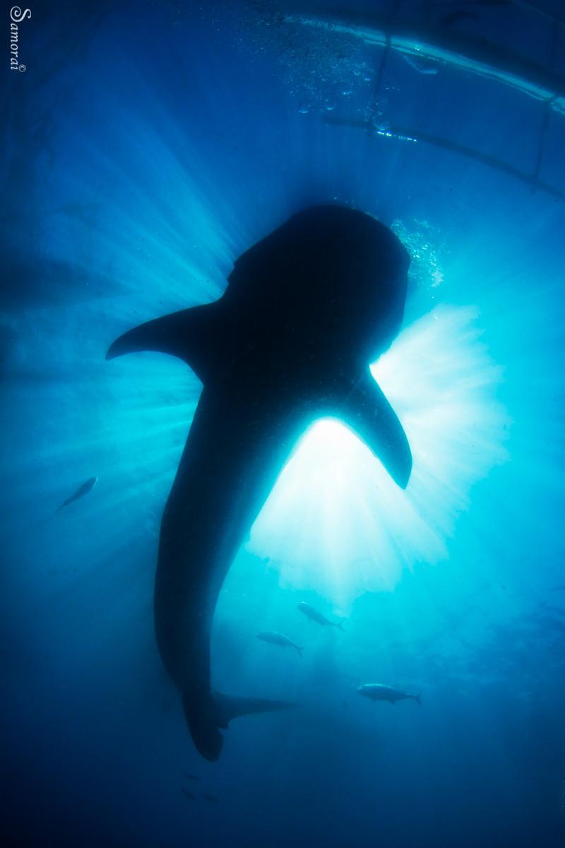 צללית של כריש לוויתן בסמוך לסירת הבנקה