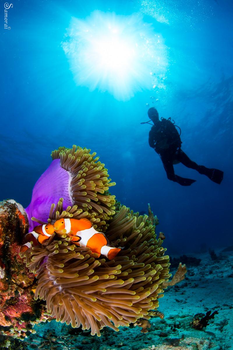 שושנון ים וצללית צולל