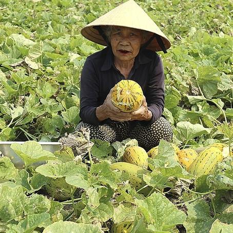 Nông dân Nghệ An trúng mùa dưa bở