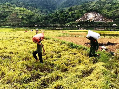 Ngành nông nghiệp đề nghị Chính phủ tăng thu mua dự trữ lúa hè thu