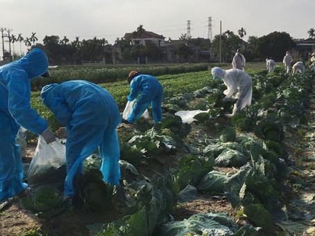 """Nỗ lực """"giải cứu"""" hơn 90.000 tấn nông sản Hải Dương"""