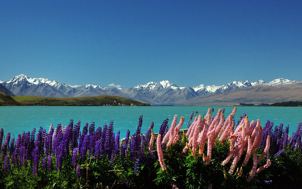 Lupins in the Spring in New Zealand