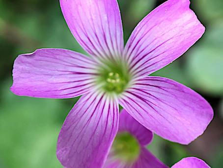 Violet Wood-sorrel flowers?