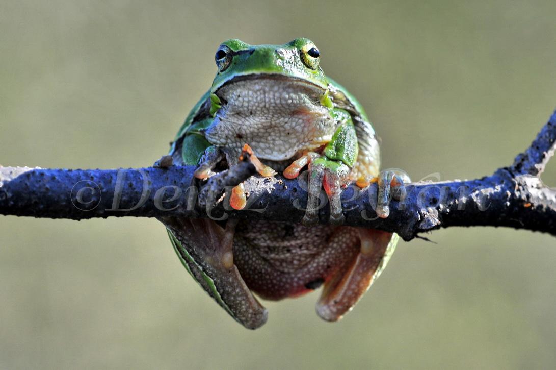 Yeşil kurbağa