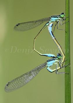 Kız böcekleri