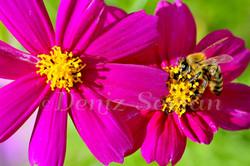Arı ve çiçek dostluğu