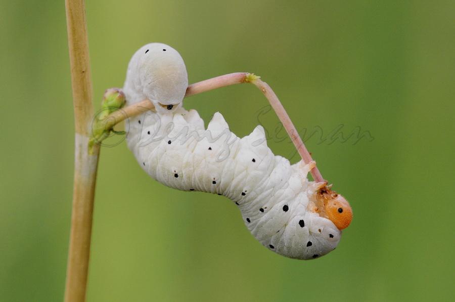 Kelebek tırtılı