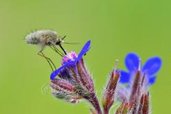 Arı sineği (Bombylius major)