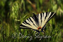 Ankara'nın Kelebekleri