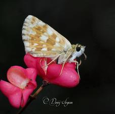 Hesperiidae - Güzel Zıpzıp - Pyrgus cinarae