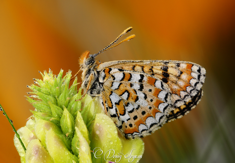 Gündüz kelebekleri