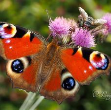 Nymphalidae - Tavus Kelebeği - Inachis io