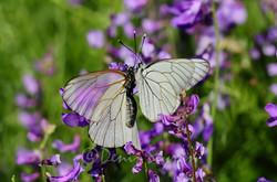 Ankara-alıç kelebekleri
