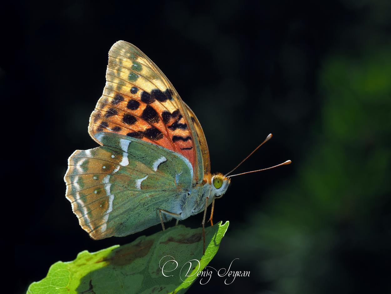 Bahadır kelebeği