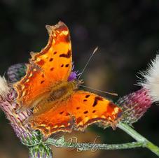 Nymphalidae - Anadolu Yırtıkpırtığı - Southern Comma - Polygonia egea