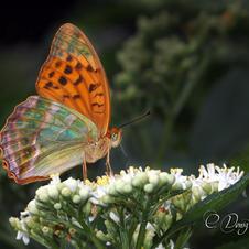 Nymphalidae - Cengaver - Argynnis paphia