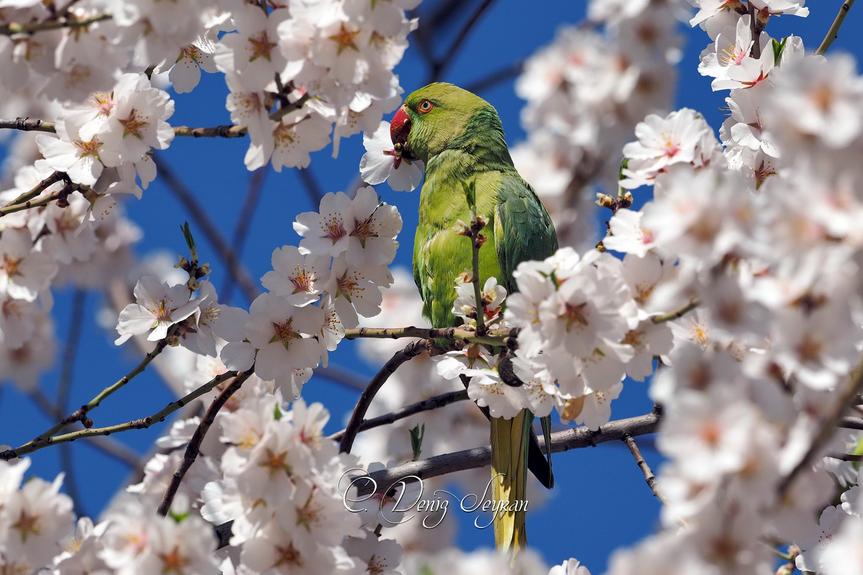 yeşil papağan
