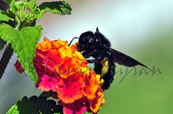 Marangoz arısı