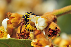 Yaban arısı