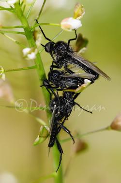 Katil sinek