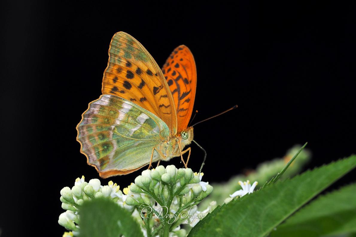 Şehzade kelebeği
