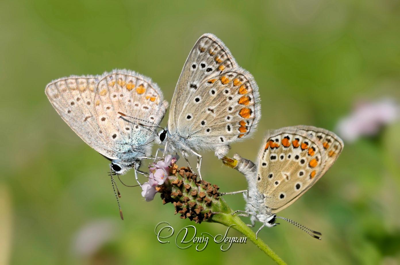 Gündüz Kelebeklerimiz -1-