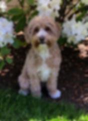 Goldie 1 year 5 mo.JPG