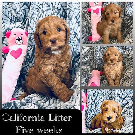 California Litter 5 weeks.JPG