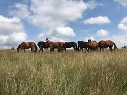Warmblut-Herde