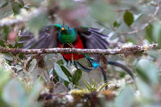 Quetzal im Flug