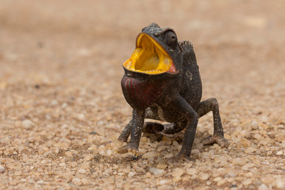 Drohgebärde eines Namaqua Chamäleon