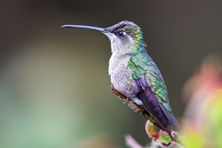 Violettkron Brillantkolibri