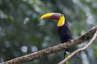Black-Manibidled Toucan